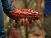 Kakao teraz oraz dla przyszłych pokoleń